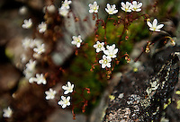 Spotted Saxifrage flowers or Saxifraga bronchialis near the Maroon Bells in Aspen, Colorado, July 12, 2011...Photo by Matt Nager