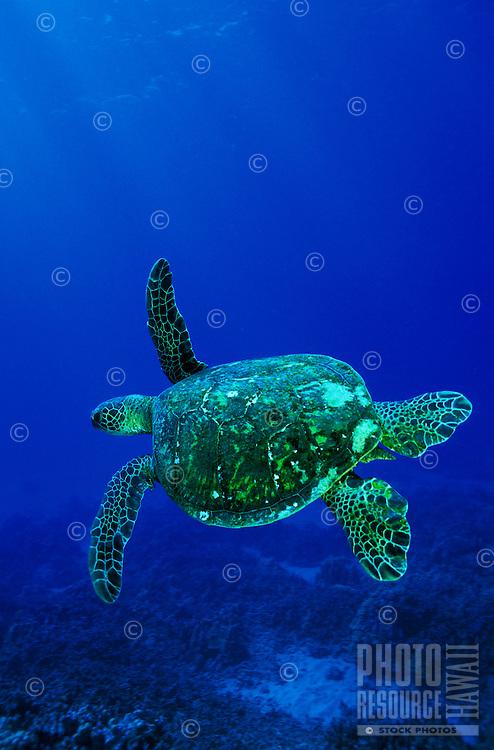 Green Sea turtles,also known as Honu's swim in all Hawaiian waters.