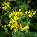 Common ragwort (Senecio jacobaea), early August.
