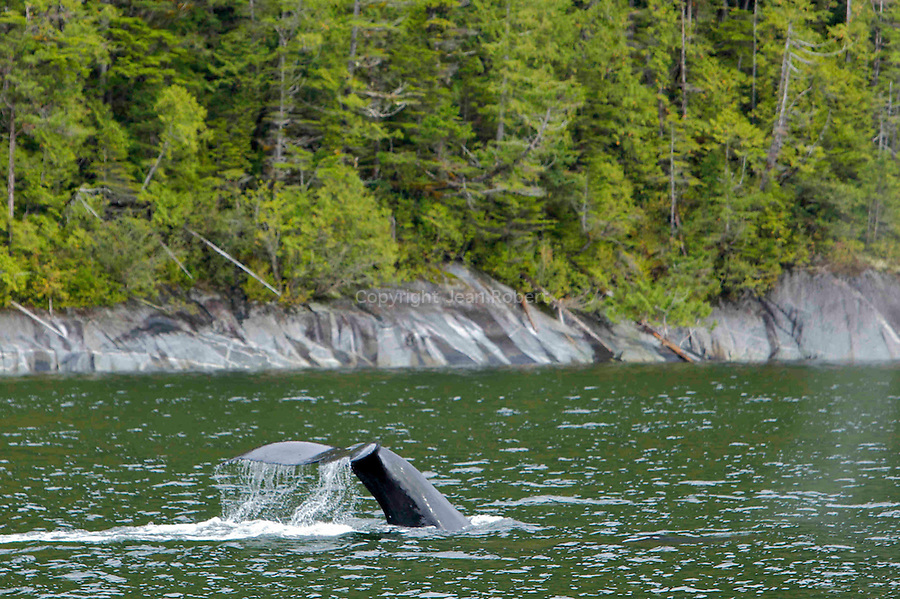 Baleines a bosse en train de pecher dans les fjords de la foret pluviale de Colombie Britannique..Humpback whale fishing in the fjords of the rainforest of British Columbia.