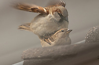 House sparrow (Passer domesticus) mating.