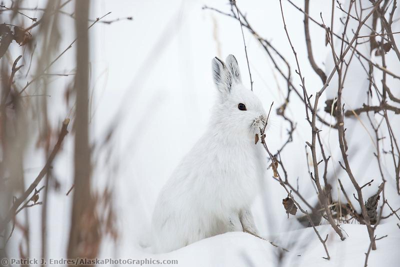 Snowshoe hare in white winter fur, Brooks Range, Alaska.