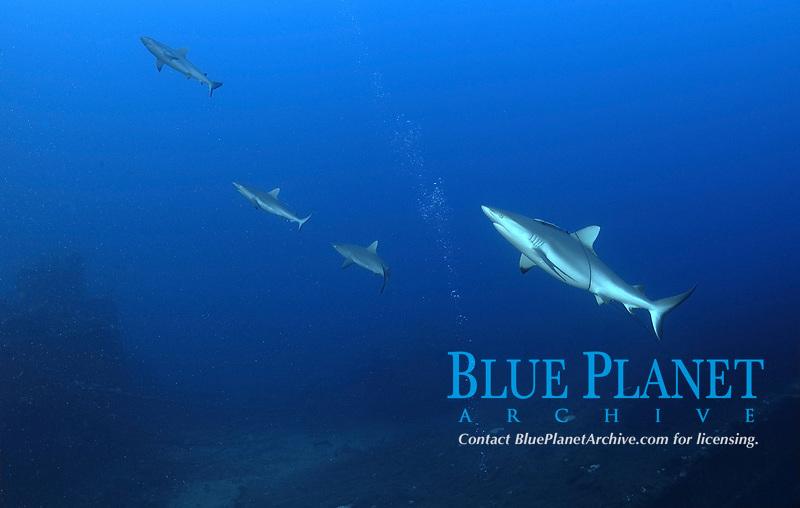 grey reef shark, Carcharhinus amblyrhynchos, fly over flight deck of ship wreck USS Saratoga, Bikini Atoll, Marshall Islands, Micronesia, Pacific Ocean