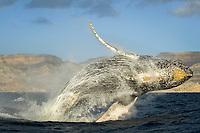 Humpback whale (megaptera novaeangliae) A breaching humpback whale. Gulf of California., Baja California, Mexico, Pacific Ocean