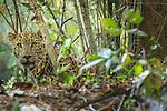 Indian Leopard, Kanha National Park, India