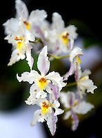 BOGOTÁ-COLOMBIA-  Cattleya Schroederae Orquídea de Colombia. / Colombian orchid  Cattleya Schroederae. Photo: VizzorImage
