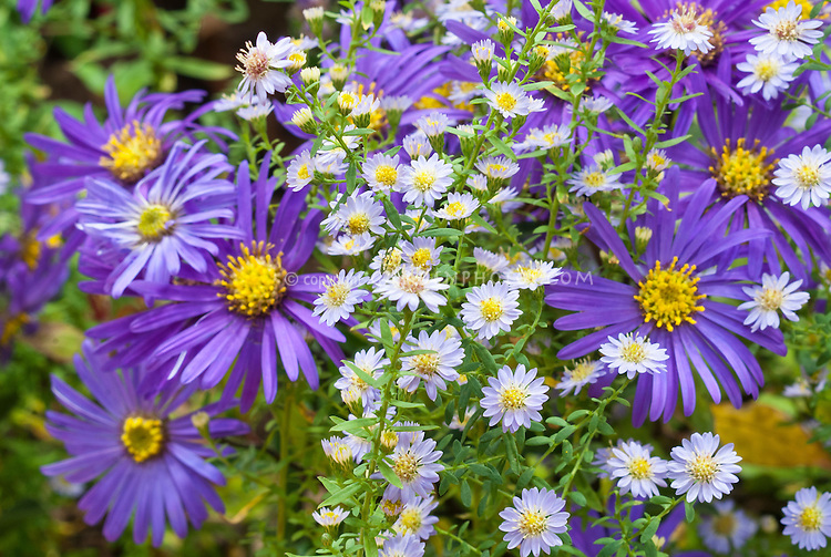 Aster ericoides 'Blue Star' with Aster amellus 'Blue Autumn' two different perennial aster flowers together in fall bloom