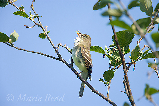 Alder Flycatcher (Empidonax alnorum) male singing, New York, USA