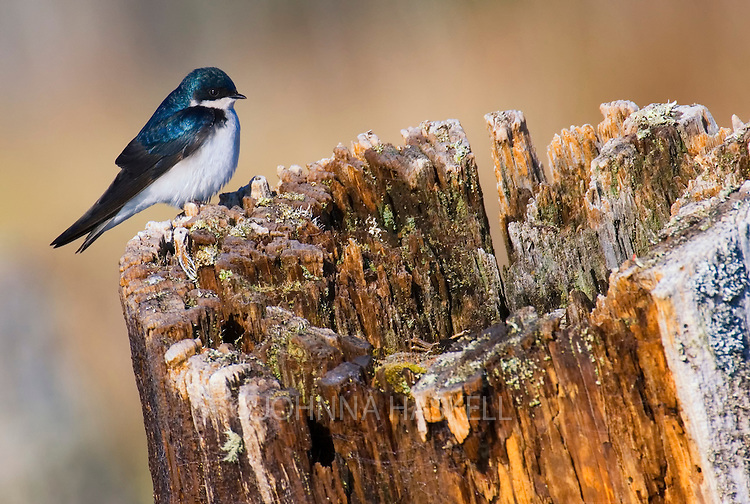 The tree swallow has a  deep-blue iridescent back and was feeding in a boggy wet area of Flagstaff Lake.