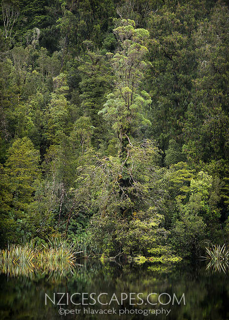 Solitairy native rata tree in rainforest at Lake Matheson, Westland Tai Poutini National Park,  South Westland, West Coast, UNESCO World Heritage Area, New Zealand, NZ
