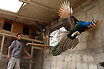 A peacock flies at a local breeding farm in Khan Younis in the southern Gaza Strip, May 5, 2015. Male peacocks display and shake its tail feather to attract attention to female peahens during courtship. Photo by Abed Rahim Khatib