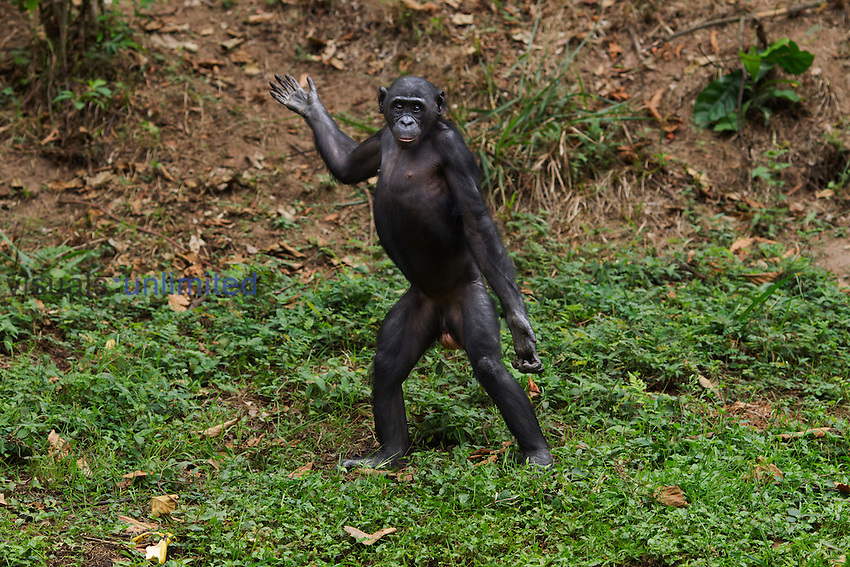 Bonobo female standing bipedally (Pan paniscus), Lola Ya Bonobo Sanctuary, Democratic Republic of Congo.