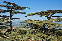 Cedar treetops high up on a hill above the village of Bonnieux, Vaucluse, Provence, France.