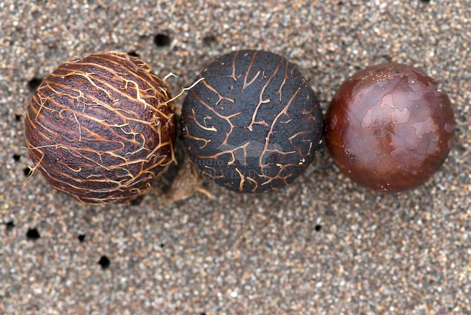 Tagua palm noten op Stille oceaan strand