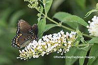 03418-01101 Red-spotted Purple (Limenitis arthemis) on Butterfly Bush (Buddleja davidii)  Marion Co. IL