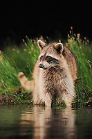 Northern Raccoon (Procyon lotor), adult at night looking for food in  wetland lake, Refugio, Coastel Bend, Texas, USA