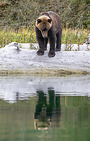 Though it may look like this bear is admiring its reflection, it's probably searching for salmon carcasses.