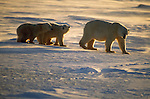Two polar bear cubs follow their mother across the snow in Churchill, Manitoba, Canada.