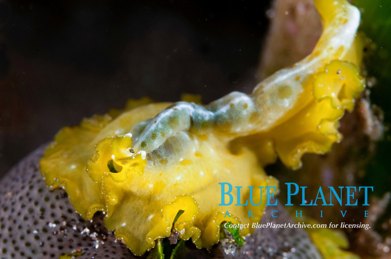 Flowers' Flatworm, Pseudobiceros flowersi, night dive, The Brewery dive site, Lembata Island, East Flores, Indonesia, Pacific Ocean