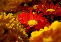 Pot Mum flower, Chrysanthemum 'Pueblo Family'', California Spring Trials, Sygenta