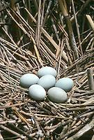 Seidenreiher, Seiden-Reiher, Eier, Ei im Nest, Reiher, Egretta garzetta, Little Egret
