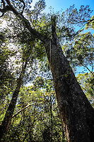 The Tsitsikamma National Park is a coastal reserve on the Garden Route in South Africa. Subtropical rainforest, with the largest tree around.