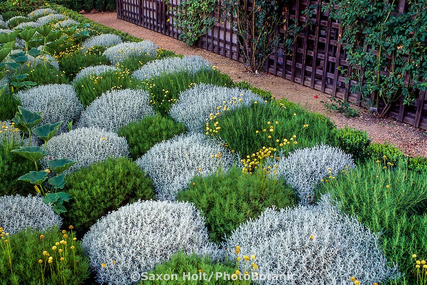 Santolina (Lavender Cotton) as patchwork groundcover - Santolina rosmarinifolia (green) and S. chamaecyparissus (yellow-gray) garden foliage herb tapestry.