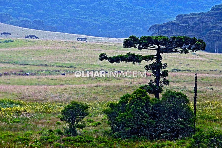 Campos de altitude e mata de araucárias. São Francisco de Paula. Rio Grande do Sul. 2008. Foto de Juca Martins.