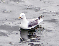 Mew gull in breeding plumage