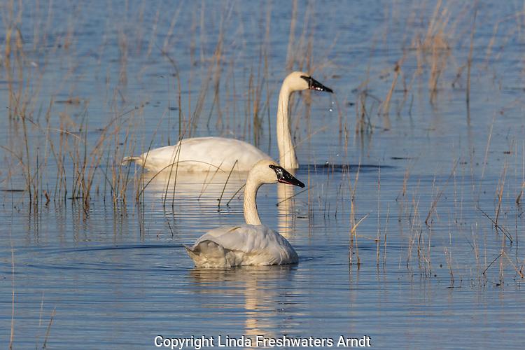 Trumpeter Swans on Phantom Lake in Crex Meadows in northwestern Wisconsin.