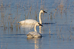 Trumpeter Swans on Phantom Lake in Crex Meadows in northwestern Wisconsin.
