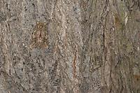 Eichen-Zahnspinner, Tarnung auf Rinde, Großer Eichen-Zahnspinner, Eichenzahnspinner, Zahnspinner, Peridea anceps, Notodonta anceps, Peridea trepida, Notodonta trepida, Great Prominent, camouflage, Notodontidae