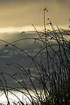 Grasses growing in marshland backlit with morning sunrise and fog
