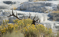 Elk-Rocky Mountain-Desert