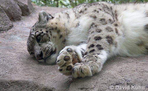 0502-0901  Snow leopard (Ounce), Uncia uncia (syn. Panthera uncia)  © David Kuhn/Dwight Kuhn Photography