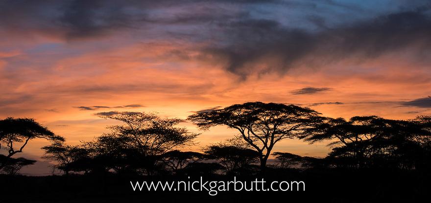Acacia tree at dawn. Ngorongoro Conservation Area / Serengeti National Park, Tanzania. (digitally stitched image)