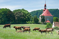 Vernerovice, Giant Mountains, Northern Bohemia, Czech Republic, June 2010. Cows in a field next to Camping Aktief. The area around Teplice, also known as the Broumovsky Steny, was inhabited by ethnic Sudeten Germans, that were deported after the Second World War. The rural landscape with green fields and cattle is dotted with little villages scarred by communist socialist architecture. Photo by Frits Meyst/Adventure4ever.com