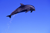 Pacific Bottlenose dolphin leaps at Sea Life Park, Oahu, Hawaii