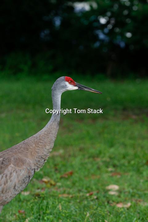 Sandhill Crane in north central Florida