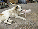 24.04.2010., Karlovac,Croatia - A three-year dog Kana raised two pigs Beti and Vilma. The dog was feed them and watch for months and half , and thanks to him they  survived.Foto: nph /  Andreja Thomas