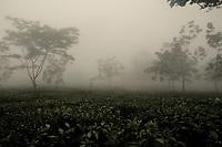 A tea garden in Darjeeling.  West Bengal, India.