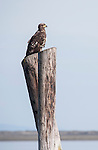 Sequim, Wahington; a juvenile Bald Eagle (Haliaeetus leucocephalus) sitting on an old pier piling in Dungeness Harbor