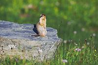 Columbian Ground Squirrel,Spermophilus columbianus, adult standing alert, Logan Pass, Glacier National Park, Montana, USA