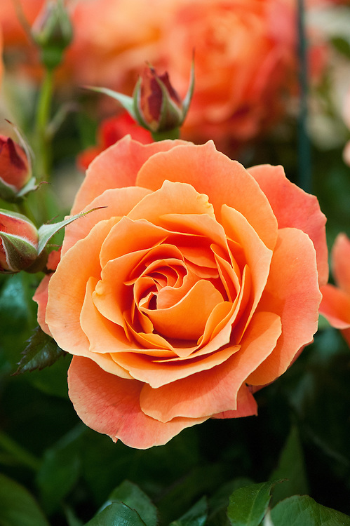 Rosa Fellowship ('Harwelcome'), early July. A compact bush rose with fragrant, double, deep orange flowers.