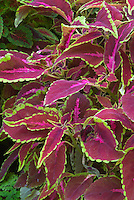 Solenostemon (Coleus) 'Miss Pilkington'