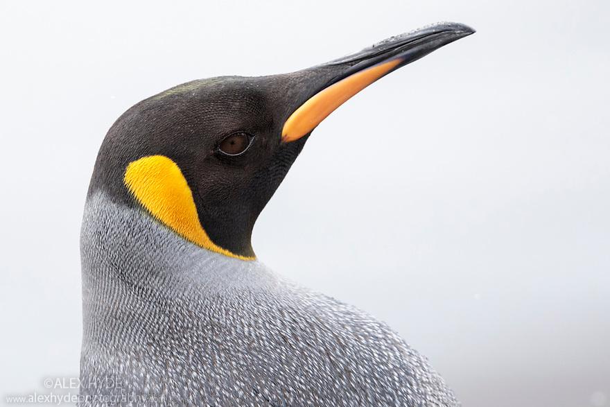 King Penguin (Mirounga leonina) St. Andrews Bay, South Georgia. November.