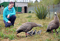 xxjob 1-5-2015 The world's rarest goose, the 'Australian Cape Barren' has given birth to four furry goslings' who are pictured with their parents on parade  with Liz Buckley at Coolwood Nature Park, Killarney at the weekend.<br /> Picture by Don MacMonagle<br /> Story Donal Hickey