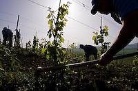 San Giuseppe Iato, 2006. Operai della cooperativa Placido Rizzotto durante la potatura