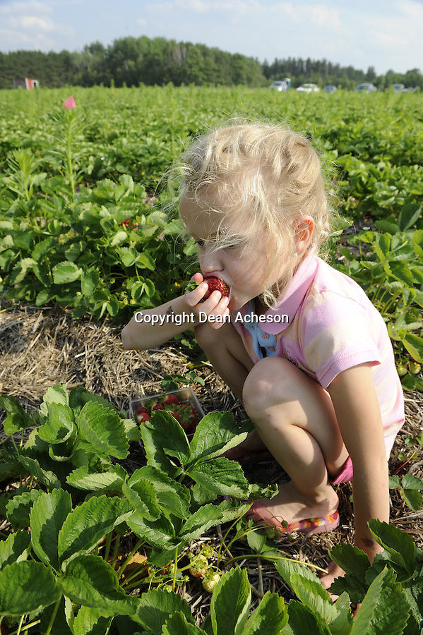 A young girl eats a strawberry while helping her mother fill containers at a pick-your-own strawberry farm, Tomahawk Berry Farm, near Tomahawk, WI on July 2, 2008.