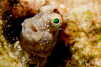 Segmented blenny, salaries segmentatus, solitary, found hiding in sheltered reefs often in turbid water to depths of 8m, Koror, Palau, Micronesia